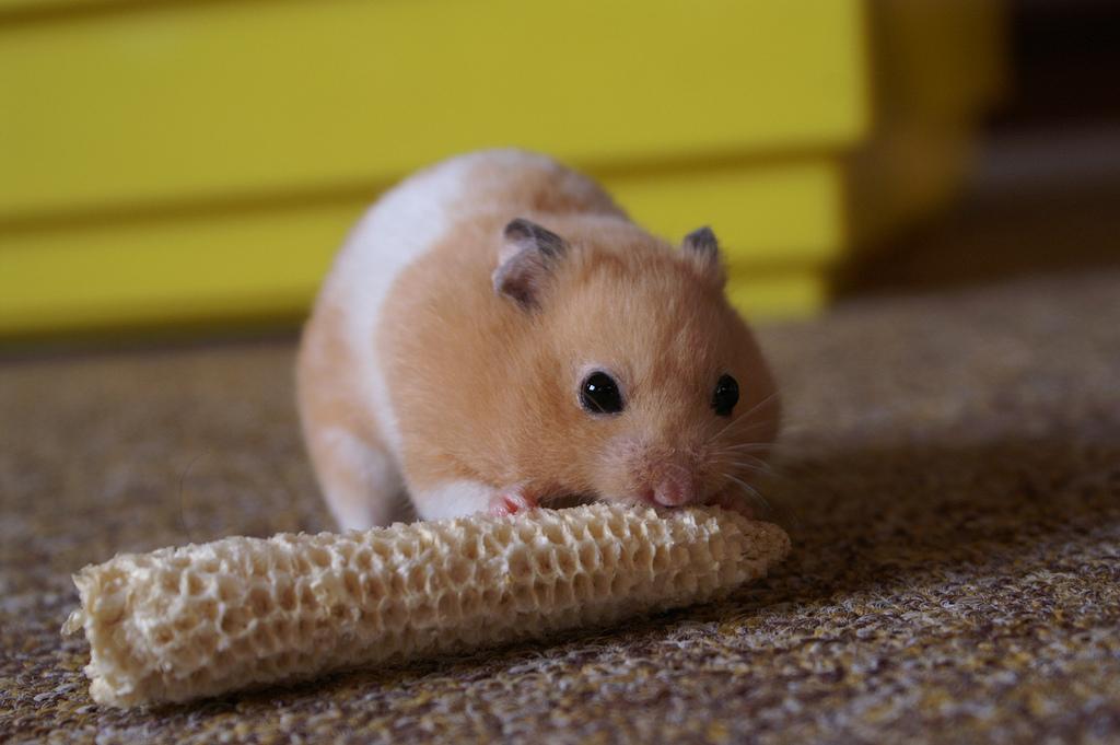 Mesocricetus auratus pet hamster 8a