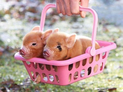 piggies in basket cute farm animals piglets pictures pics