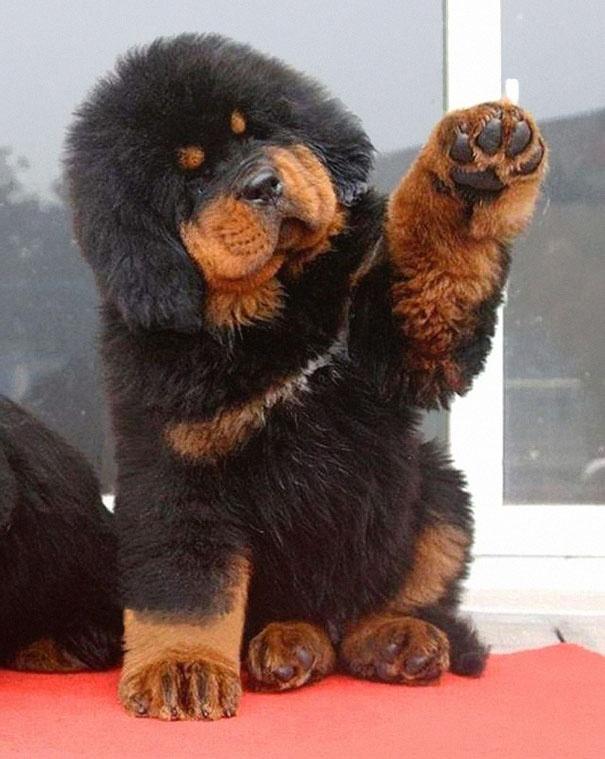 717805 605 1445936187chubby puppies bear cub look alikes 15 605