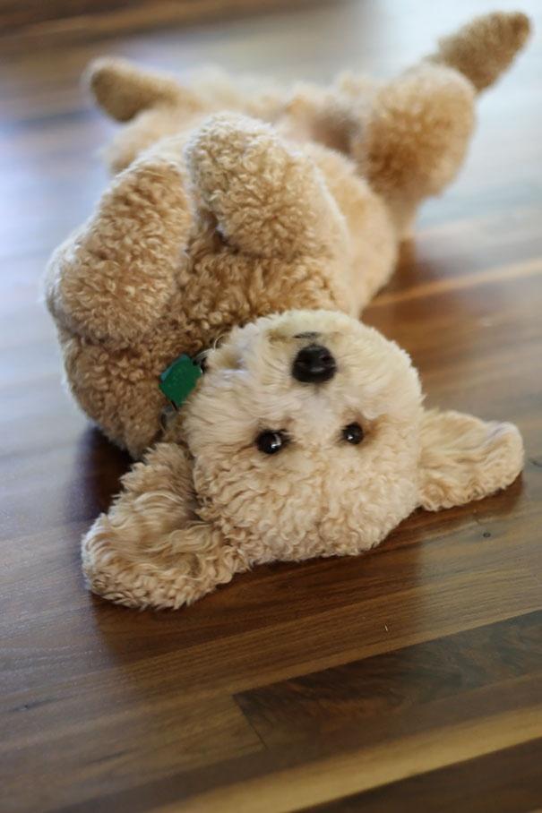 718005 605 1445936187chubby puppies bear cub look alikes 18 605