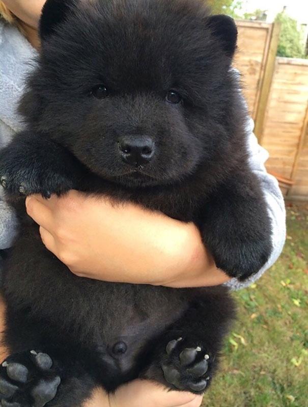 718055 605 1445936186chubby puppies bear cub look alikes 1 605