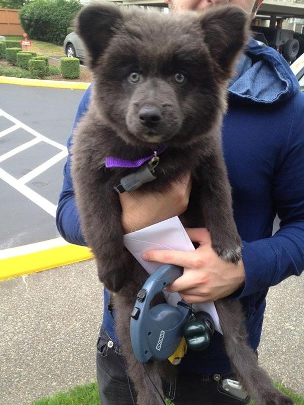 718105 605 1445936187chubby puppies bear cub look alikes 21 605