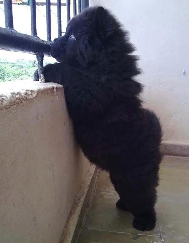 718155 605 1445936186chubby puppies bear cub look alikes 24 605