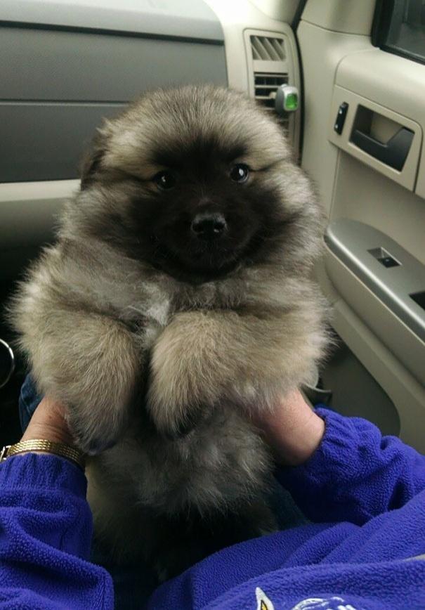 718205 605 1445936187chubby puppies bear cub look alikes 2 605