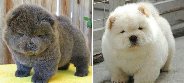 718255 605 1445936187chubby puppies bear cub look alikes 4 605