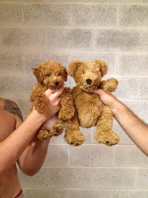 718355 605 1445936186chubby puppies bear cub look alikes 6 605