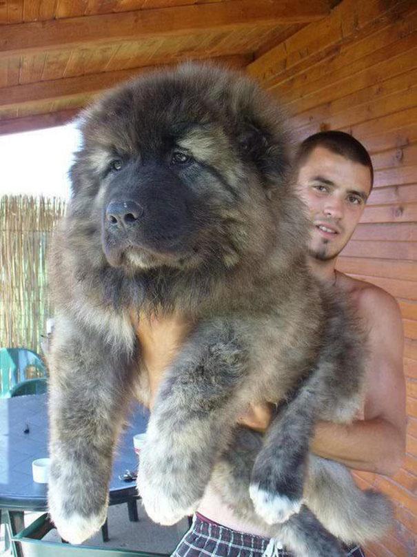 718405 605 1445936187chubby puppies bear cub look alikes 7 605
