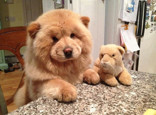 718505 605 1445936187dog look like teddy bear 1 605