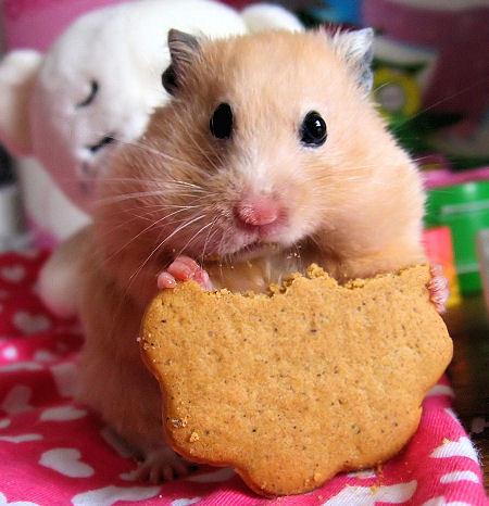 koyneli tsintsila hamster 3