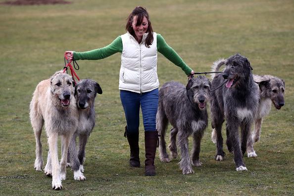 Ιρλανδική Wolfhound
