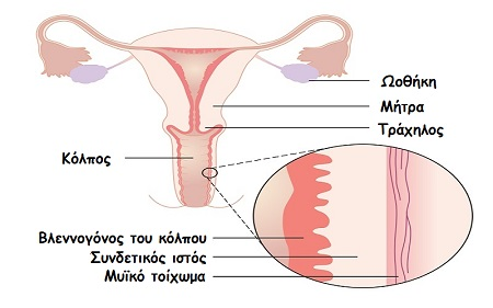 Diagrams showing the layers of the vaginal wall CRUK 391
