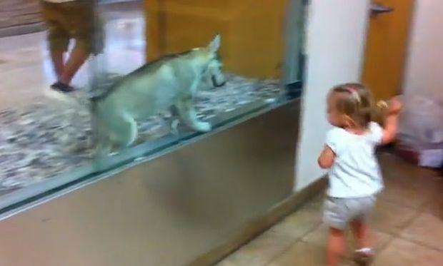 Απίθανο βίντεο: Κοριτσάκι τρέχει από εδώ και από εκεί με ένα χάσκι