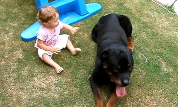 Βίντεο: Μπόμπιρας... επιτίθεται σε ροντβάιλερ!