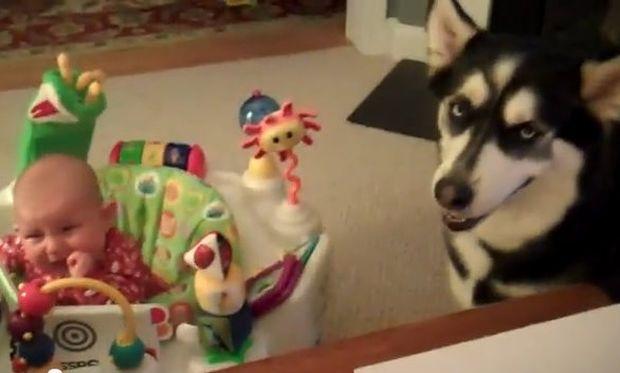 Φοβερό βίντεο: Δείτε πώς το χάσκι καταφέρνει να σταματήσει το κλάμα του μωρού