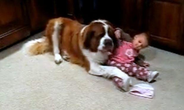 Βίντεο: Σκύλος Αγίου Βερνάρδου παίζει με ένα μωρό