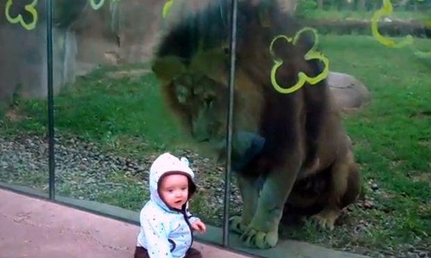 Βίντεο: Το μωρό και... το λιοντάρι!