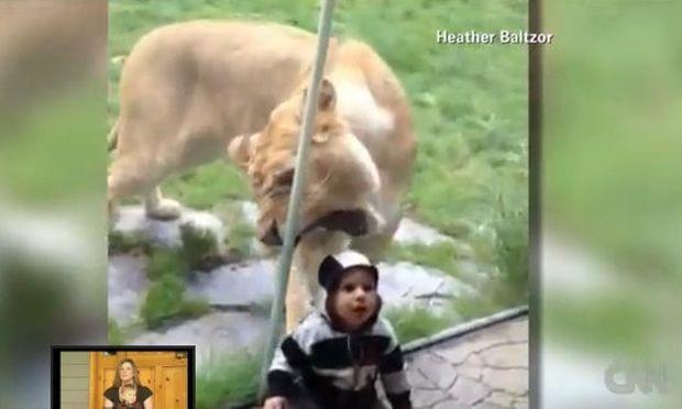 Συγκλονιστικό βίντεο: Δείτε λιοντάρι να προσπαθεί να φάει το μωρό!