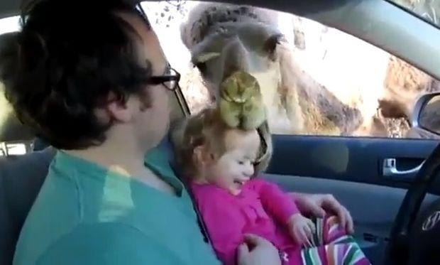 """Καμήλα προσπάθησε να """"φάει"""" κοριτσάκι!"""