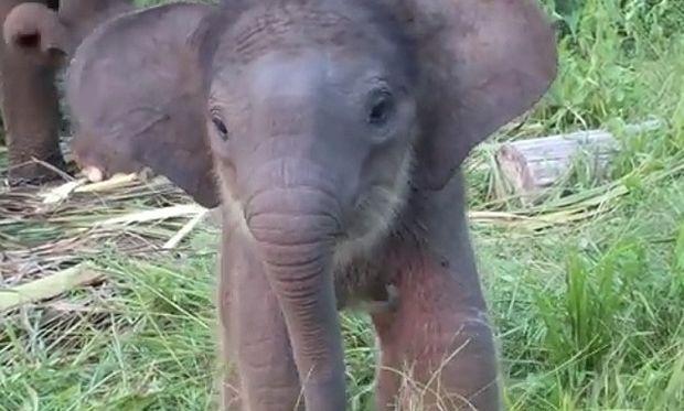 Πόσο τρυφερό! Το μωρό-ελεφαντάκι κάνει προσπάθειες να φάει για πρώτη φορά με την προβοσκίδα του (βίντεο)