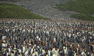 Kι όμως! Ο μεγαλύτερος «βρεφικός σταθμός» στον κόσμο ανήκει στους... πιγκουίνους! (εικόνες)
