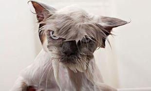 Βρεγμένες γατούλες εν δράσει! Πώς αντιδρούν όταν τις κάνουμε μπάνιο; (εικόνες)