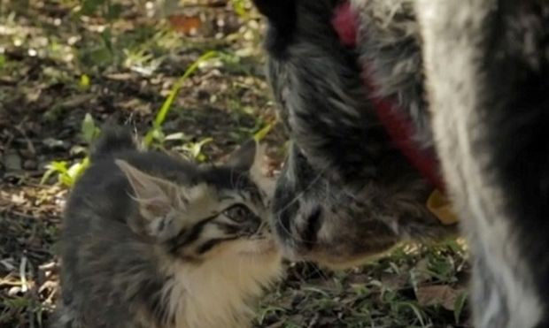 Τι συμβαίνει όταν ένας σκύλος βρεθεί δίπλα σε ένα νεογέννητο γάτακι; (βίντεο)