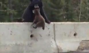 Aπίστευτο! Η μαμά αρκούδα σώζει την τελευταία στιγμή το αρκουδάκι της που είναι έτοιμο να βγει στον δρόμο! (βίντεο)