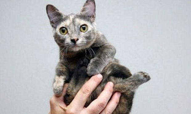 Αυτό σίγουρα δεν το έχετε ξαναδεί. Το μικρότερο γατάκι του κόσμου έχει ύψος 12 εκατοστά (βίντεο)