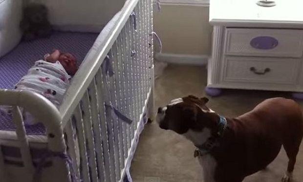 Δείτε τι κάνει αυτό το Μπόξερ τη στιγμή που κλαίει η νεογέννητη μικρή! (βίντεο)