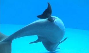 Μοναδικό! Δελφίνι γεννά μπροστά στην κάμερα (βίντεο)