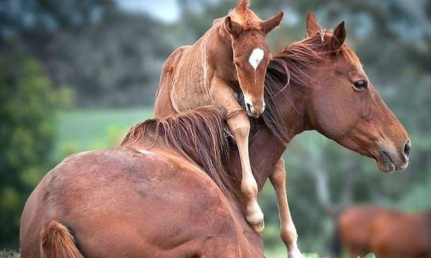 Το μεγαλείο της φύσης. Άλογο γεννά μπροστά στην κάμερα χωρίς βοήθεια (βίντεο)