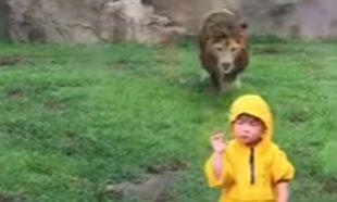 Λιοντάρι ορμάει σε 2χρονο αγοράκι- Δείτε πώς σώθηκε (βίντεο)