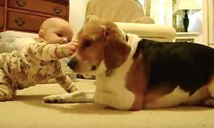 Ανεκτίμητες στιγμές όταν το Beagle της οικογένειας συναντά το νεογέννητο μωρό (video)