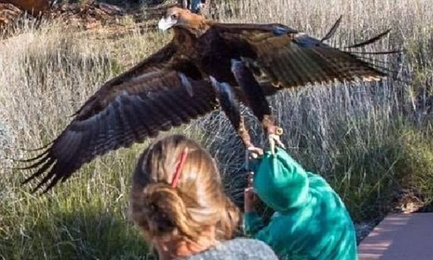 Κι όμως συνέβη: Αετός επιχείρησε να αρπάξει αγόρι στην Αυστραλία! (φωτό)