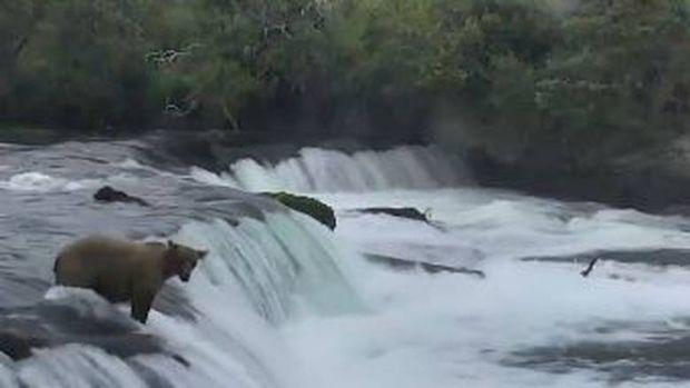 Μητέρα αρκούδα κολυμπά σε καταρράκτη για να σώσει τα μικρά της (vid)