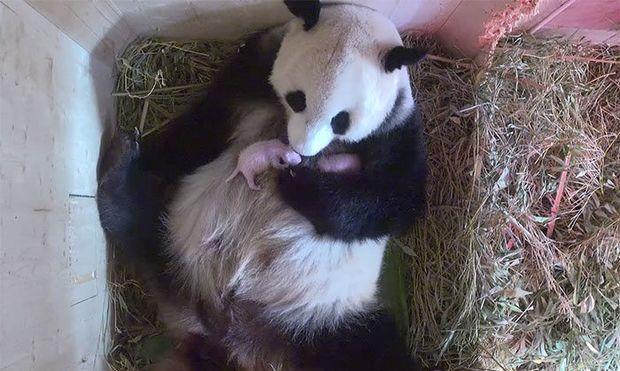 Αυτό το πάντα εξέπληξε τους υπαλλήλους του ζωολογικού κήπου με τη γέννα των διδύμων της (βίντεο)