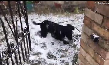Σκύλος αντικρίζει για πρώτη φορά χιόνι! Ο, τι πιο αστείο έχουμε δει (vds)