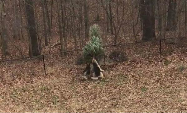 Πολύ γέλιο: Δύο σκύλοι δεν είναι έτοιμοι να αποχωριστούν το χριστουγεννιάτικο δέντρο (vid)