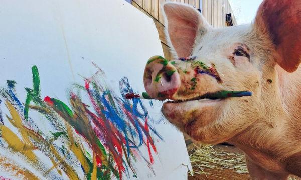Pigcasso: Γνωρίστε το γουρούνι που ζωγραφίζει ( video)