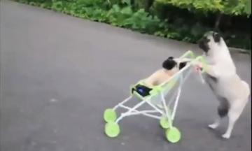 Απίστευτο βίντεο: Σκύλος σπρώχνει το παιδικό καρότσι σαν άνθρωπος