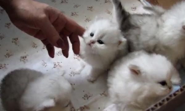 Αυτά τα νεογέννητα χνουδωτά γατάκια θα σας κάνουν να λιώσετε! (vid)