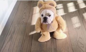 Ντύθηκε αρκουδάκι για το Halloween!  Έχετε δει πιο αστείο σκυλί από αυτό; (vid)
