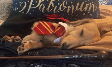 Cuteness Alert! Αξιολάτρευτος σκύλος ανταποκρίνεται σε ξόρκια του Harry Potter